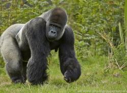 Gorilla 2014 -34copyright-photographers-on-safari-com