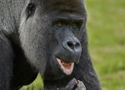 Gorilla 2014 -35copyright-photographers-on-safari-com