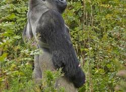 Gorilla 2014 -36copyright-photographers-on-safari-com