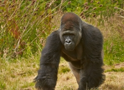 Gorilla 2014 -3copyright-photographers-on-safari-com