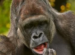 Gorilla 2014 -4copyright-photographers-on-safari-com