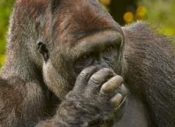 Gorilla 2014 -5copyright-photographers-on-safari-com