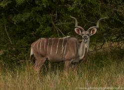 Kudu 2014 -1copyright-photographers-on-safari-com