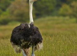 Ostrich 2014 -1copyright-photographers-on-safari-com