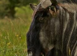 Wildebeest 2014 -1copyright-photographers-on-safari-com