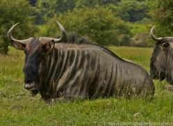 Wildebeest 2014 -2copyright-photographers-on-safari-com
