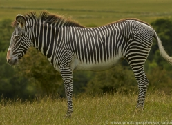 Zebra 2014 -1copyright-photographers-on-safari-com