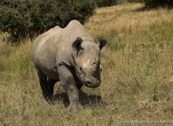 black-rhino-port-lympne-2231-copyright-photographers-on-safari-com