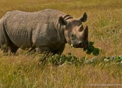 black-rhino-port-lympne-2233-copyright-photographers-on-safari-com