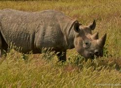 black-rhino-port-lympne-2234-copyright-photographers-on-safari-com