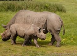 black-rhino-port-lympne-2238-copyright-photographers-on-safari-com