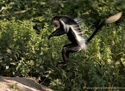 colobus-monkey-port-lympne-2218-copyright-photographers-on-safari-com
