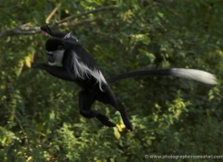 colobus-monkey-port-lympne-2219-copyright-photographers-on-safari-com