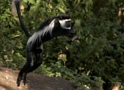 colobus-monkey-port-lympne-2223-copyright-photographers-on-safari-com