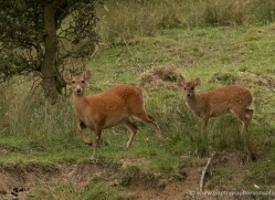 hog-deer-port-lympne-2204-copyright-photographers-on-safari-com