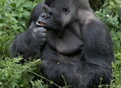 lowland-gorilla-port-lympne-2265-copyright-photographers-on-safari-com