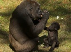 lowland-gorilla-port-lympne-2266-copyright-photographers-on-safari-com