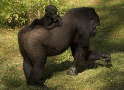 lowland-gorilla-port-lympne-2267-copyright-photographers-on-safari-com