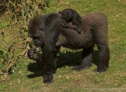 lowland-gorilla-port-lympne-2268-copyright-photographers-on-safari-com