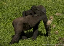 lowland-gorilla-port-lympne-2270-copyright-photographers-on-safari-com