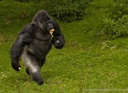 lowland-gorilla-port-lympne-2272-copyright-photographers-on-safari-com