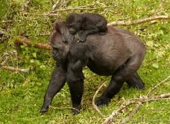 lowland-gorilla-port-lympne-2274-copyright-photographers-on-safari-com
