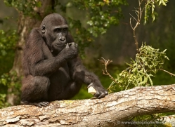 lowland-gorilla-port-lympne-2278-copyright-photographers-on-safari-com
