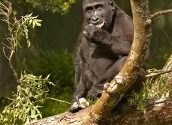 lowland-gorilla-port-lympne-2280-copyright-photographers-on-safari-com