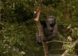 lowland-gorilla-port-lympne-2281-copyright-photographers-on-safari-com