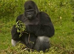 lowland-gorilla-port-lympne-2283-copyright-photographers-on-safari-com
