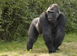 lowland-gorilla-port-lympne-2286-copyright-photographers-on-safari-com