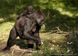 lowland-gorilla-port-lympne-2287-copyright-photographers-on-safari-com