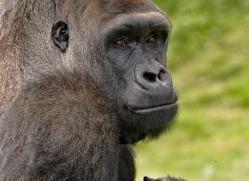 lowland-gorilla-port-lympne-2288-copyright-photographers-on-safari-com