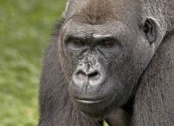 lowland-gorilla-port-lympne-2289-copyright-photographers-on-safari-com