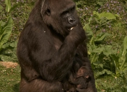 lowland-gorilla-port-lympne-2291-copyright-photographers-on-safari-com