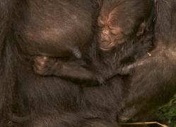 lowland-gorilla-port-lympne-2292-copyright-photographers-on-safari-com
