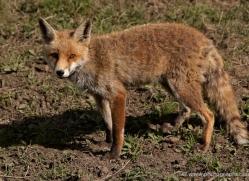 red-fox-port-lympne-2258-copyright-photographers-on-safari-com