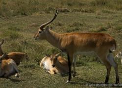 red-lechwe-port-lympne-2226-copyright-photographers-on-safari-com