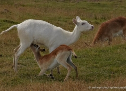 red-lechwe-port-lympne-2230-copyright-photographers-on-safari-com