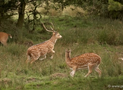spotted-deer-port-lympne-2225-copyright-photographers-on-safari-com