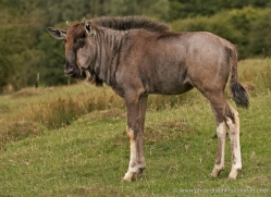 wildebeest-port-lympne-2205-copyright-photographers-on-safari-com