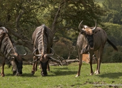 wildebeest-port-lympne-2208-copyright-photographers-on-safari-com
