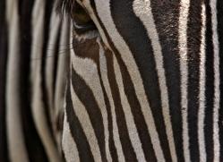 zebra-port-lympne-2211-copyright-photographers-on-safari-com