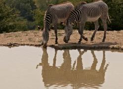 zebra-port-lympne-2212-copyright-photographers-on-safari-com