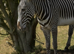 zebra-port-lympne-2213-copyright-photographers-on-safari-com