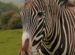 zebra-port-lympne-2215-copyright-photographers-on-safari-com