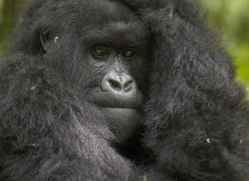 mountain-gorilla-rwanda-3089-copyright-photographers-on-safari-com