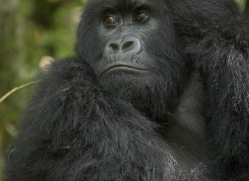 mountain-gorilla-rwanda-3090-copyright-photographers-on-safari-com
