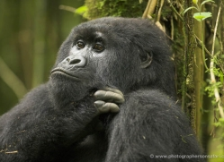 mountain-gorilla-rwanda-3092-copyright-photographers-on-safari-com