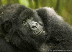 mountain-gorilla-rwanda-3093-copyright-photographers-on-safari-com